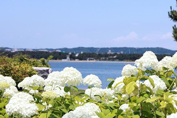 海とあじさいのコラボレーションをお楽しみいただける、八景島ならではのスポット。 初夏の日差しが気持ちよい浜辺でゆっくりしてみては