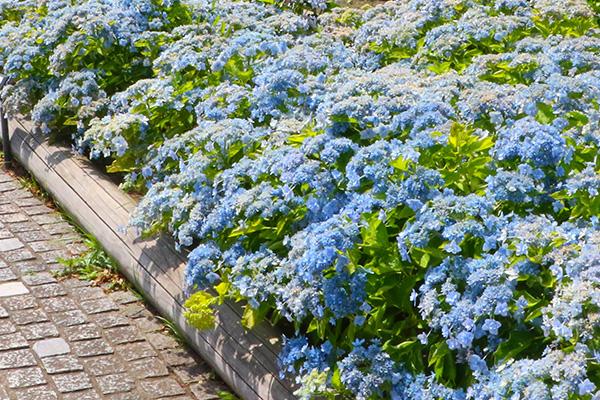 皆さまにネーミングを決めていただいた八景島のオリジナル品種「八景ブルー」が咲き誇るエリア。