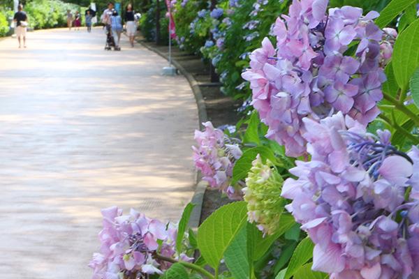 丘の広場から緩やかな坂道の両サイドにあじさいが咲き並び、あじさいがお客さまをシーパラダイスへ導きます。