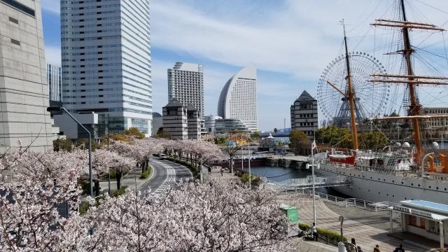 さくら通り・汽車道の桜