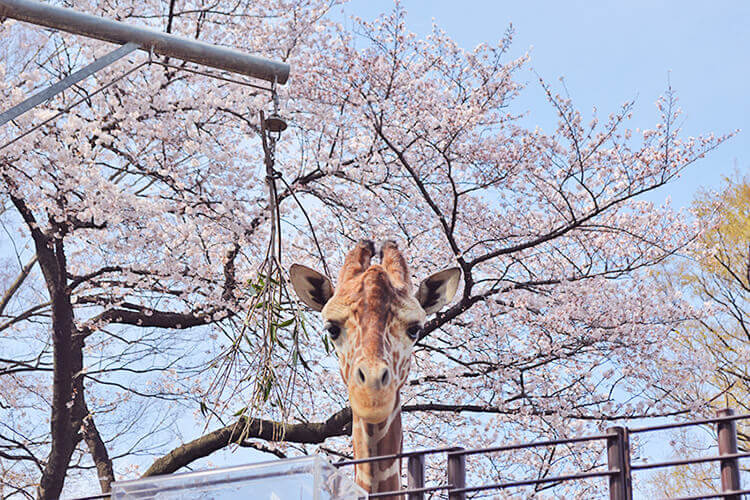 横浜市立 野毛山動物園の桜